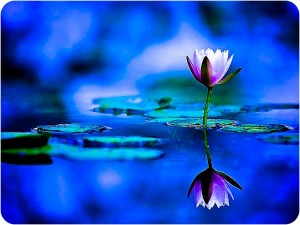 lotus flower reflected